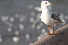 Seagull stand Royalty Free Stock Images