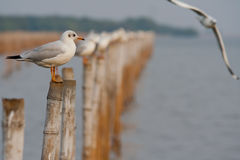 Seagull. Stand Seagull Evening in Bankpu Thailand Stock Images