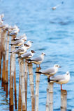 Seagull stand ordering on neat timber. The Seagull migrated from cold weather into bangpoo, samutprakarn province in Thailand Royalty Free Stock Photos