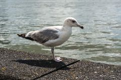 Seagull stand by the sea Royalty Free Stock Images