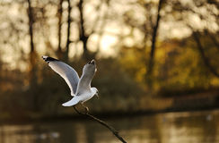 Seagull stand in a tree Stock Image