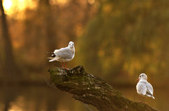 Seagull stand in a tree Royalty Free Stock Image