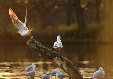 Seagull stand in a tree Royalty Free Stock Images