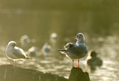Seagull stand in a wood Royalty Free Stock Photography