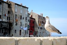Seagull standing Stock Photography