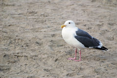 A seagull standing alone on a Pacific Ocean beach Stock Image