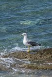 Seagull standing alone Royalty Free Stock Photo