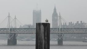 Seagull standing on the background of the bridge and Big Ben. London. England. United Kingdom. Urban birds in Britain stock video footage