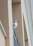 Seagull standing balcony Royalty Free Stock Photo