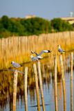 Seagull standing on bamboo ,Bangpoo Thailand Stock Images