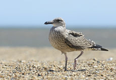 Seagull standing on the beach Stock Photo