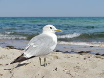 Seagull standing on the beach Stock Images