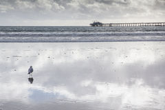 Seagull standing on beach with beautiful reflection of sky and clouds. Stock Image