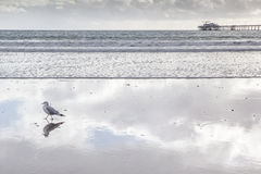 Seagull standing on beach with beautiful reflection of sky and clouds. Stock Photos