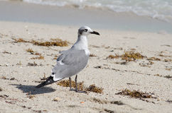 Seagull standing on the beach Royalty Free Stock Images