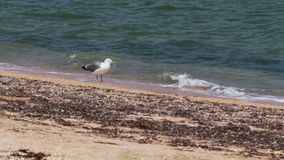 Seagull standing on the beach near the shore of. Large white and gray seagull standing on a sandy beach in the surf waves of the sea stock footage