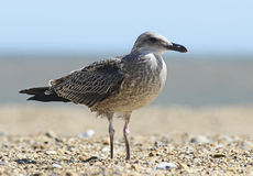 Seagull standing on the beach Stock Image