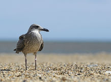 Seagull standing on the beach Royalty Free Stock Image