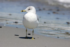 Seagull Standing on a Beach Stock Image