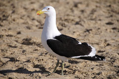 Seagull standing on the beach Stock Photos