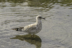 Seagull standing on a Bow River. In prince`s island park close to Calgary downtown stock photography