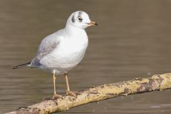 A seagull standing on a branch royalty free stock image