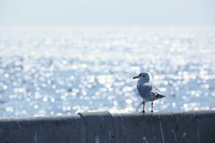 Seagull standing. On the bridge near the sea royalty free stock image