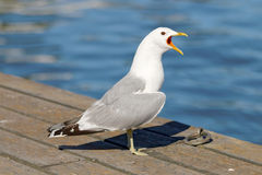 Seagull standing on bridge screaming Royalty Free Stock Photography