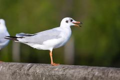 Seagull is standing on a bridge white cement rail above the sea, in Bangpoo Thailand stock photography