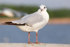 Seagull is standing on a bridge white cement rail above the sea royalty free stock photo