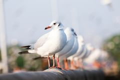 Seagull is standing on a bridge white cement rail above the sea, in Bangpoo Thailand royalty free stock images