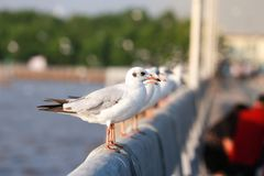Seagull is standing on a bridge white cement rail above the sea royalty free stock photography