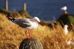Seagull standing Royalty Free Stock Photo