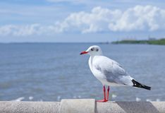 Seagull standing on concrete Royalty Free Stock Photography