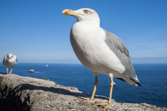 Seagull. Standing on a concrete wall Stock Photo