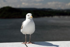 Seagull standing Royalty Free Stock Image