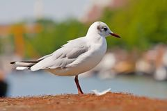 Seagull standing on the dock Stock Images