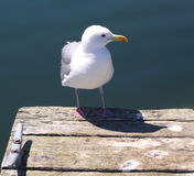 Seagull standing on a dock Royalty Free Stock Photos