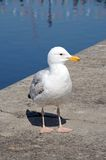 Seagull standing on dockside. Royalty Free Stock Image