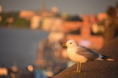 Seagull standing on the edge of city. At early morning . Sun rays brighten up him and the city in the background. Photo taken in Stockholm, Sweden stock photography