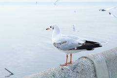 Close-up seagull, Beautiful seaugll in Asia. stock photos