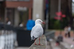 Seagull standing on a fence with city view on the background. Urban Silver Gull bird portrait stock image