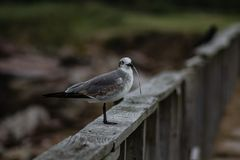 Seagull standing on fence rail with a blade of grass in his beak. Side view of a seagull standing on a fence rail with a blade of grass in his beak royalty free stock image