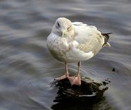 Seagull, on submerged rock, in river stock images