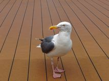 Seagull standing on the floor boat. Seagull standing on the floor of the boat Stock Photos
