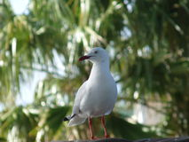 Seagull. Standing for the food at the park of watson bay Stock Images