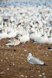 Seagull in front of snow geese Royalty Free Stock Photos