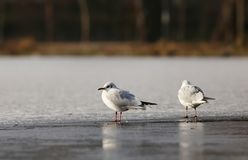 Seagull standing on a frozen lake Stock Photo
