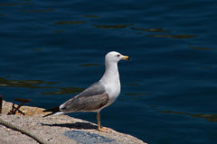 Seagull standing and gazing the deep blue sea Stock Photo