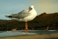 Seagull standing on the glass. Stock Image